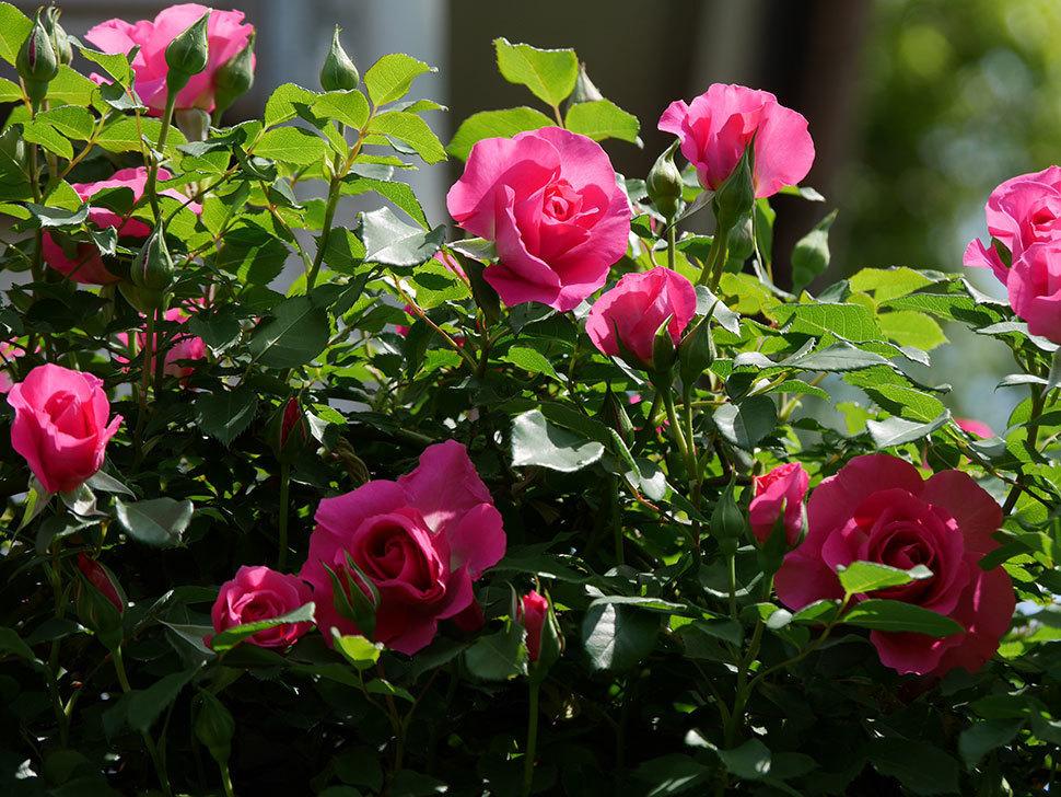 ツルうらら(ツルバラ)の花が増えて来た。2019年-28.jpg
