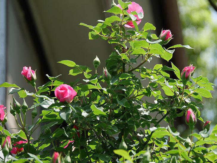 ツルうらら(ツルバラ)の花が増えて来た。2019年-32.jpg