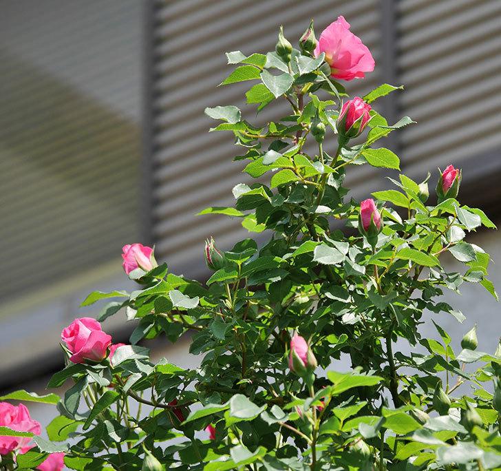 ツルうらら(ツルバラ)の花が増えて来た。2019年-35.jpg