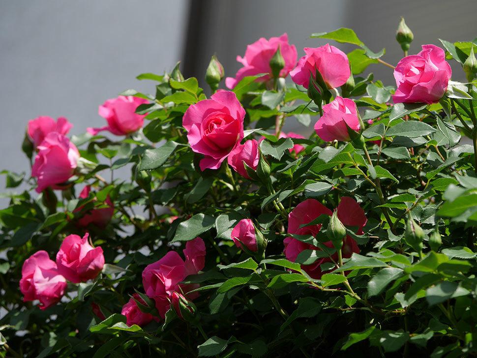 ツルうらら(ツルバラ)の花が増えて来た。2019年-40.jpg