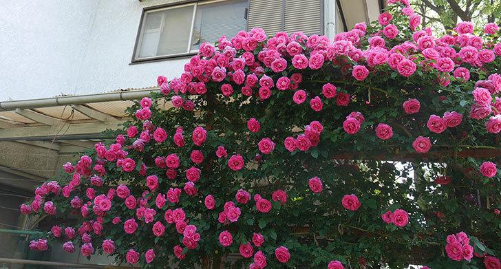 ツルうらら(ツルバラ)の花が大量に咲いたので切り花にした。2019年-10.jpg