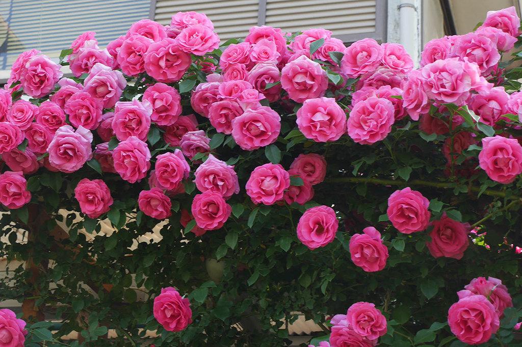 ツルうらら(ツルバラ)の花が大量に咲いたので切り花にした。2019年-11.jpg