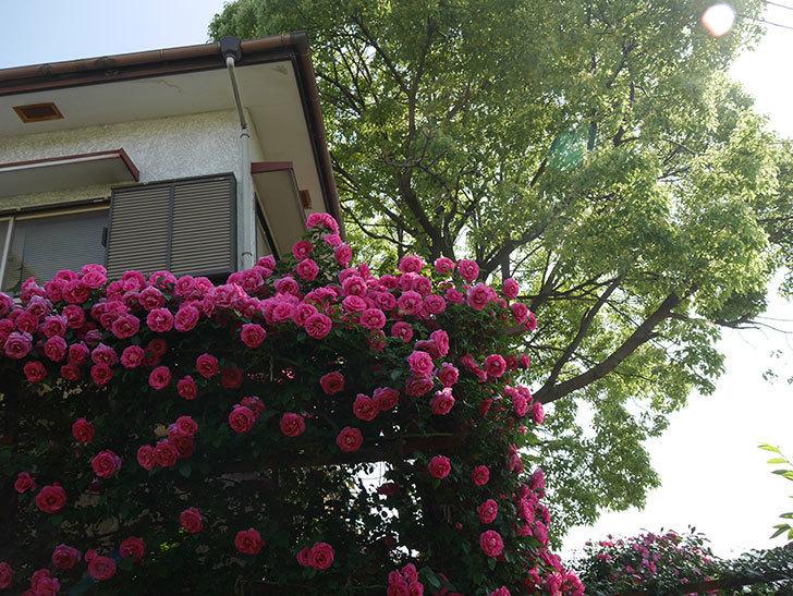 ツルうらら(ツルバラ)の花が大量に咲いたので切り花にした。2019年-12.jpg