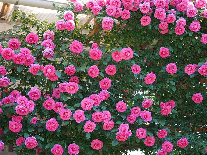 ツルうらら(ツルバラ)の花が大量に咲いたので切り花にした。2019年-16.jpg