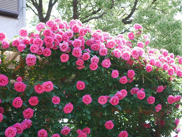 ツルうらら(ツルバラ)の花が大量に咲いたので切り花にした。2019年-17.jpg