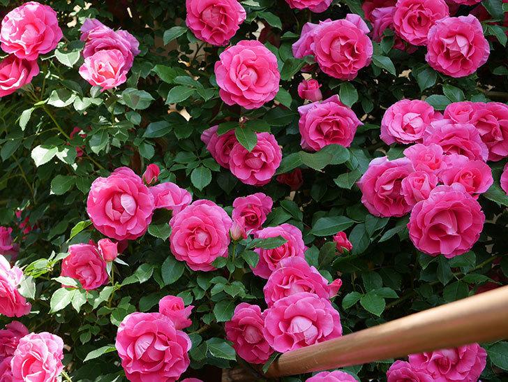 ツルうらら(ツルバラ)の花が大量に咲いたので切り花にした。2019年-19.jpg