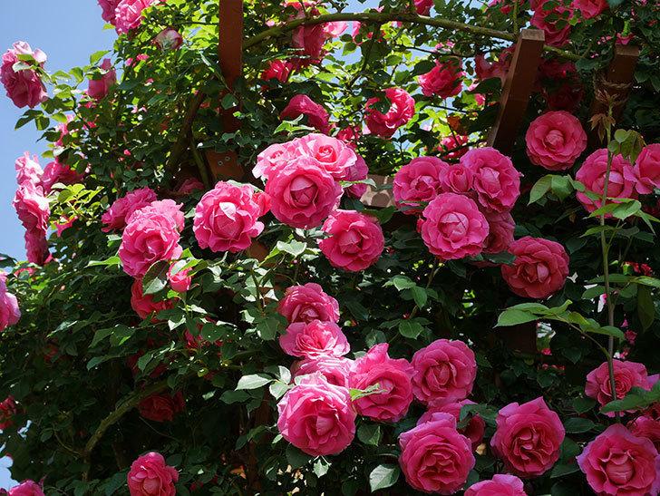 ツルうらら(ツルバラ)の花が大量に咲いたので切り花にした。2019年-21.jpg