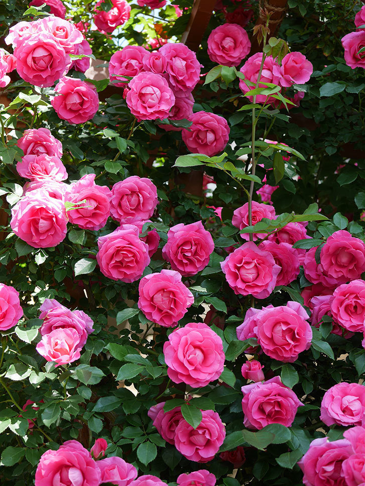 ツルうらら(ツルバラ)の花が大量に咲いたので切り花にした。2019年-23.jpg