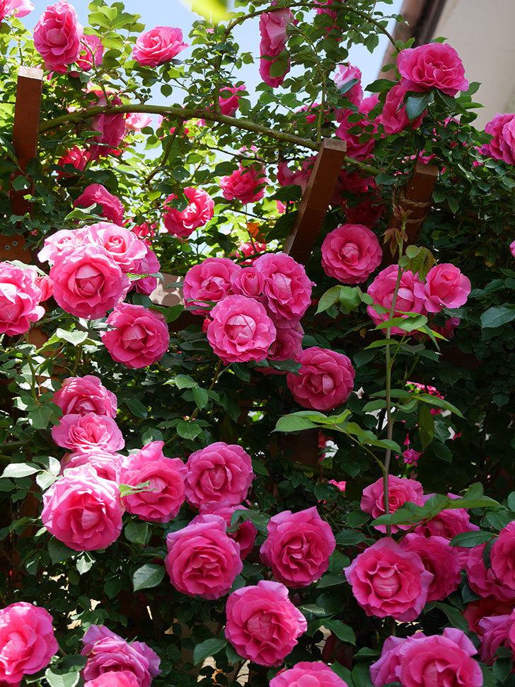 ツルうらら(ツルバラ)の花が大量に咲いたので切り花にした。2019年-24.jpg