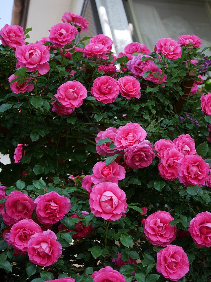 ツルうらら(ツルバラ)の花が大量に咲いたので切り花にした。2019年-26.jpg
