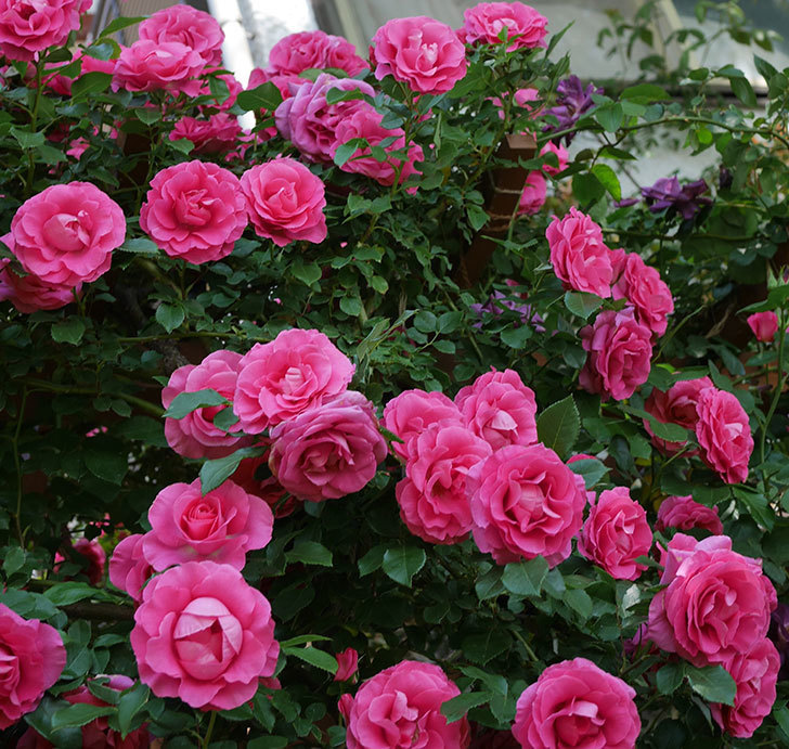 ツルうらら(ツルバラ)の花が大量に咲いたので切り花にした。2019年-27.jpg