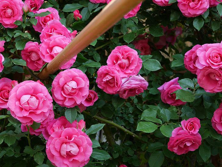 ツルうらら(ツルバラ)の花が大量に咲いたので切り花にした。2019年-29.jpg