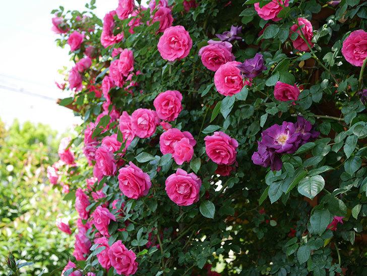 ツルうらら(ツルバラ)の花が大量に咲いたので切り花にした。2019年-30.jpg