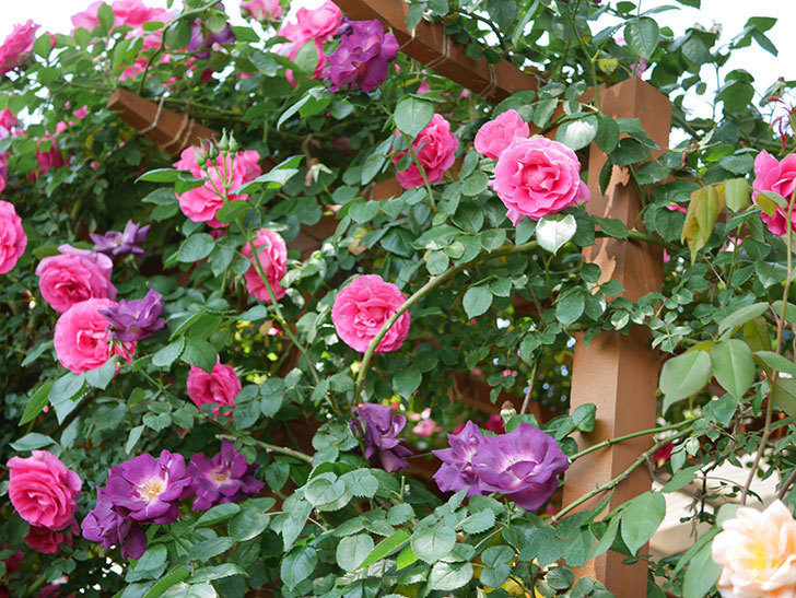 ツルうらら(ツルバラ)の花が大量に咲いたので切り花にした。2019年-31.jpg