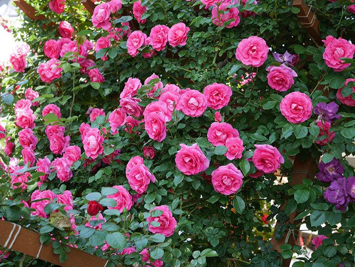 ツルうらら(ツルバラ)の花が大量に咲いたので切り花にした。2019年-33.jpg