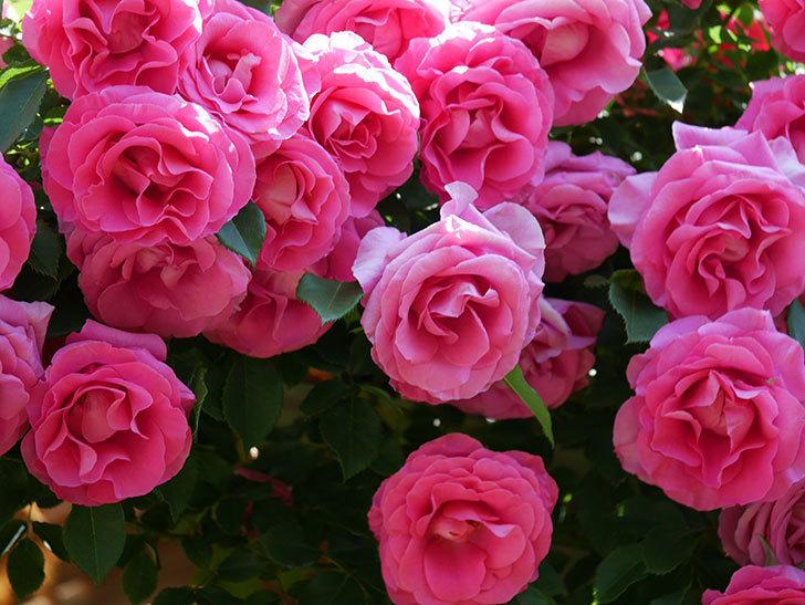 ツルうらら(ツルバラ)の花が大量に咲いたので切り花にした。2019年-34.jpg
