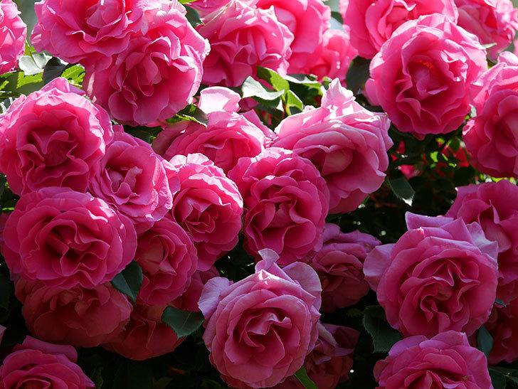 ツルうらら(ツルバラ)の花が大量に咲いたので切り花にした。2019年-35.jpg