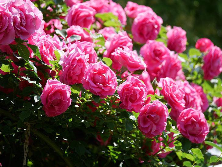ツルうらら(ツルバラ)の花が大量に咲いたので切り花にした。2019年-36.jpg