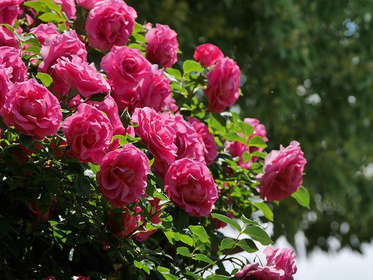 ツルうらら(ツルバラ)の花が大量に咲いたので切り花にした。2019年-37.jpg