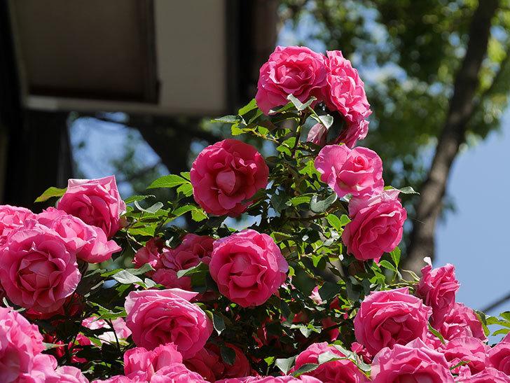 ツルうらら(ツルバラ)の花が大量に咲いたので切り花にした。2019年-38.jpg