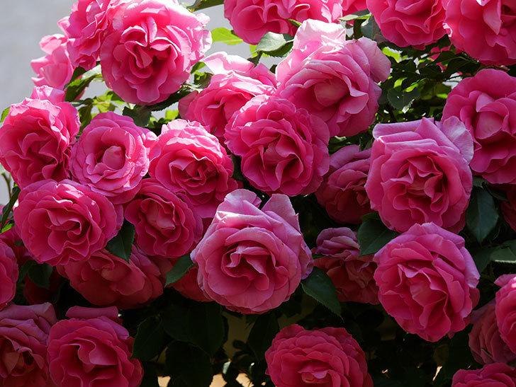ツルうらら(ツルバラ)の花が大量に咲いたので切り花にした。2019年-39.jpg