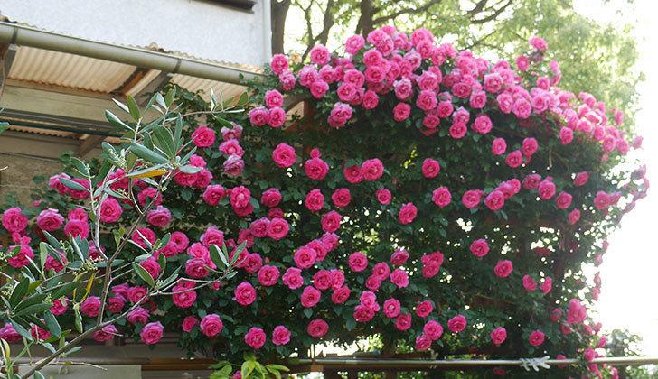 ツルうらら(ツルバラ)の花が大量に咲いたので切り花にした。2019年-6.jpg