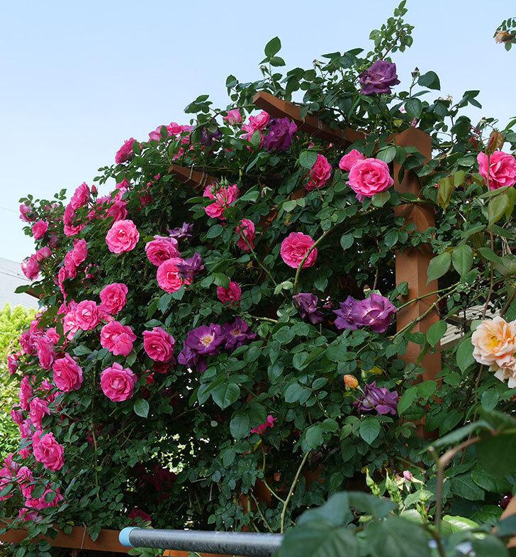 ツルうらら(ツルバラ)の花が大量に咲いたので切り花にした。2019年-7.jpg