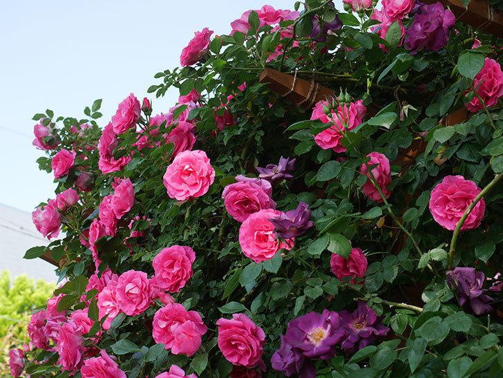 ツルうらら(ツルバラ)の花が大量に咲いたので切り花にした。2019年-8.jpg