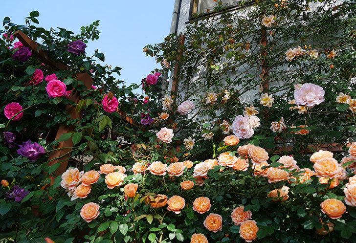 ツルうらら(ツルバラ)の花が大量に咲いたので切り花にした。2019年-9.jpg