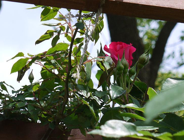 ツルうらら(ツルバラ)の花が少し咲いた。2017年-7.jpg