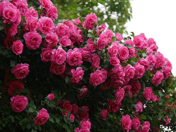 ツルうらら(ツルバラ)の花が満開になった。2020年-1.jpg
