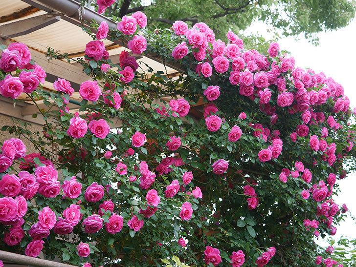 ツルうらら(ツルバラ)の花が満開になった。2020年-10.jpg