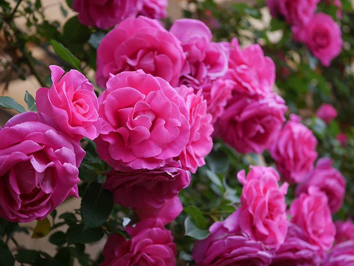 ツルうらら(ツルバラ)の花が満開になった。2020年-11.jpg