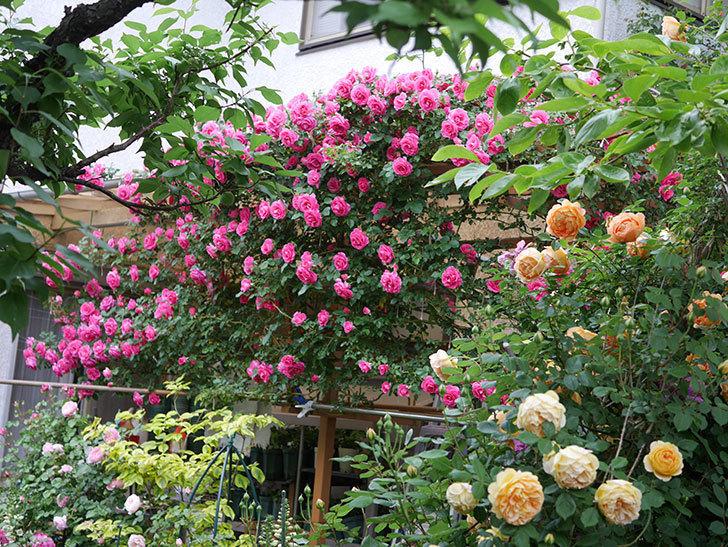 ツルうらら(ツルバラ)の花が満開になった。2020年-12.jpg