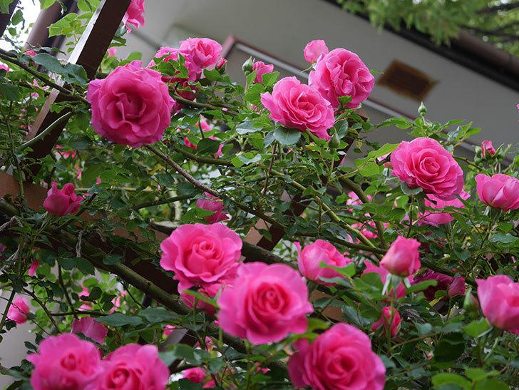 ツルうらら(ツルバラ)の花が満開になった。2020年-14.jpg