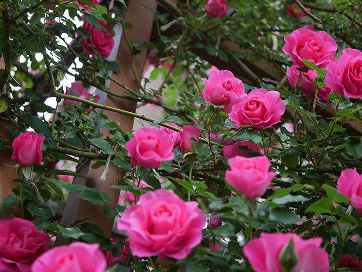 ツルうらら(ツルバラ)の花が満開になった。2020年-15.jpg