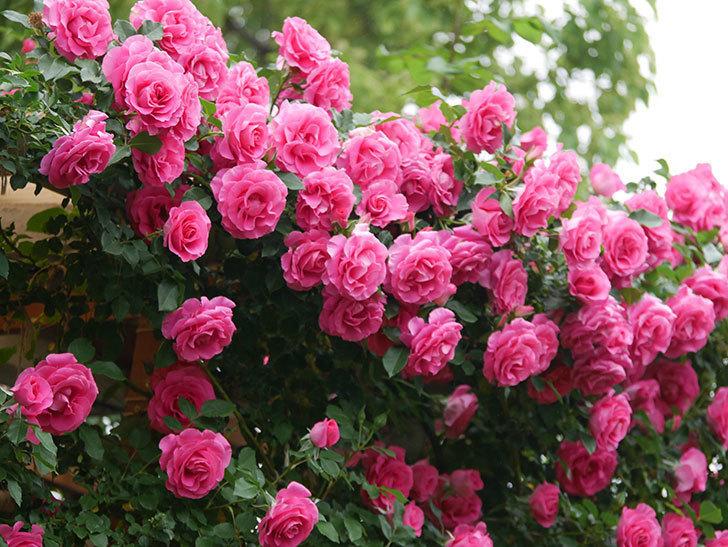 ツルうらら(ツルバラ)の花が満開になった。2020年-3.jpg