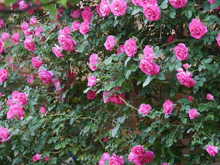 ツルうらら(ツルバラ)の花が満開になった。2020年-6.jpg