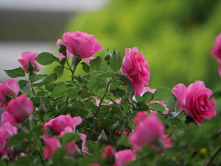 ツルうらら(ツルバラ)の花が満開になった。2020年-9.jpg