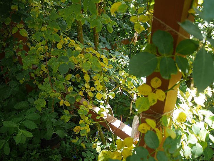 ツルうらら(ツルバラ)の葉が大量に黄色くなった。2018年-1.jpg