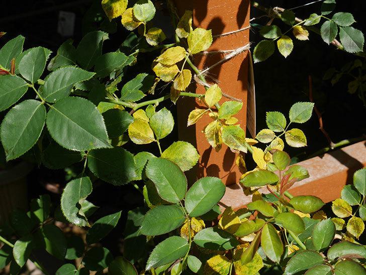 ツルうらら(ツルバラ)の葉が大量に黄色くなった。2018年-2.jpg