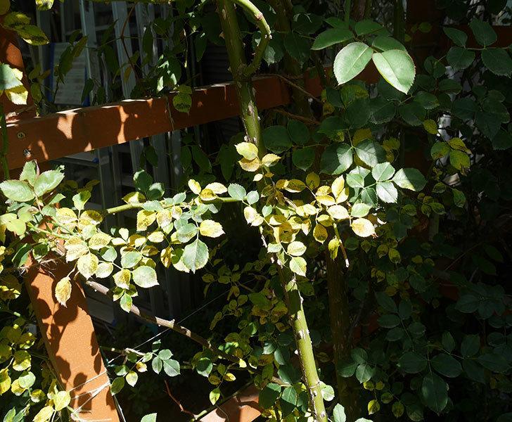 ツルうらら(ツルバラ)の葉が大量に黄色くなった。2018年-3.jpg