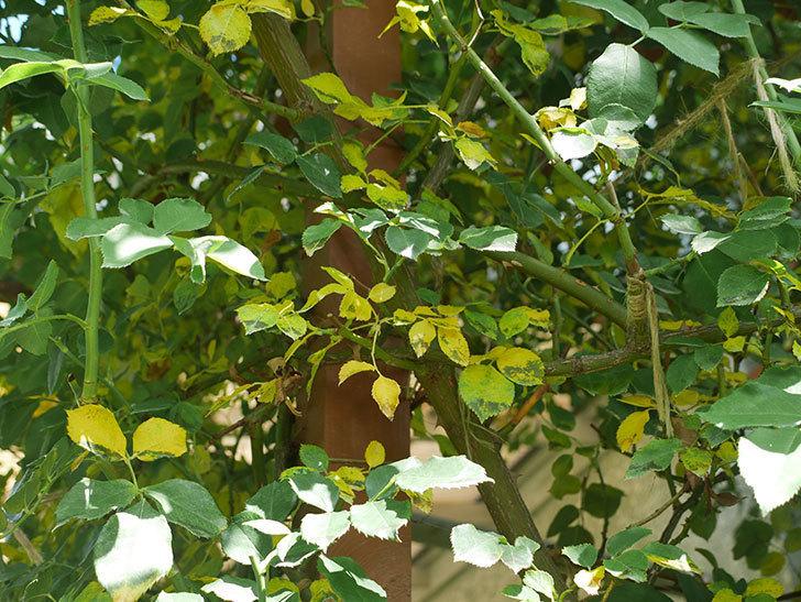 ツルうらら(ツルバラ)の葉が大量に黄色くなった。2018年-5.jpg