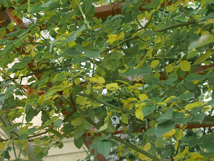 ツルうらら(ツルバラ)の葉が大量に黄色くなった。2018年-6.jpg