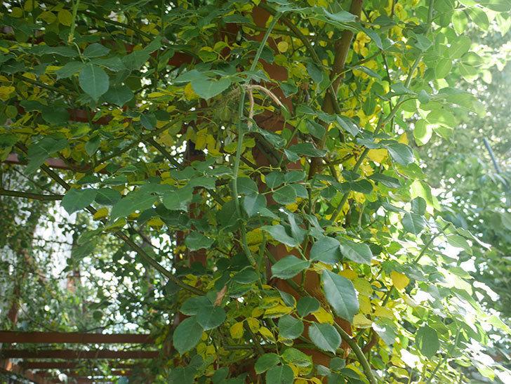 ツルうらら(ツルバラ)の葉が大量に黄色くなった。2018年-7.jpg