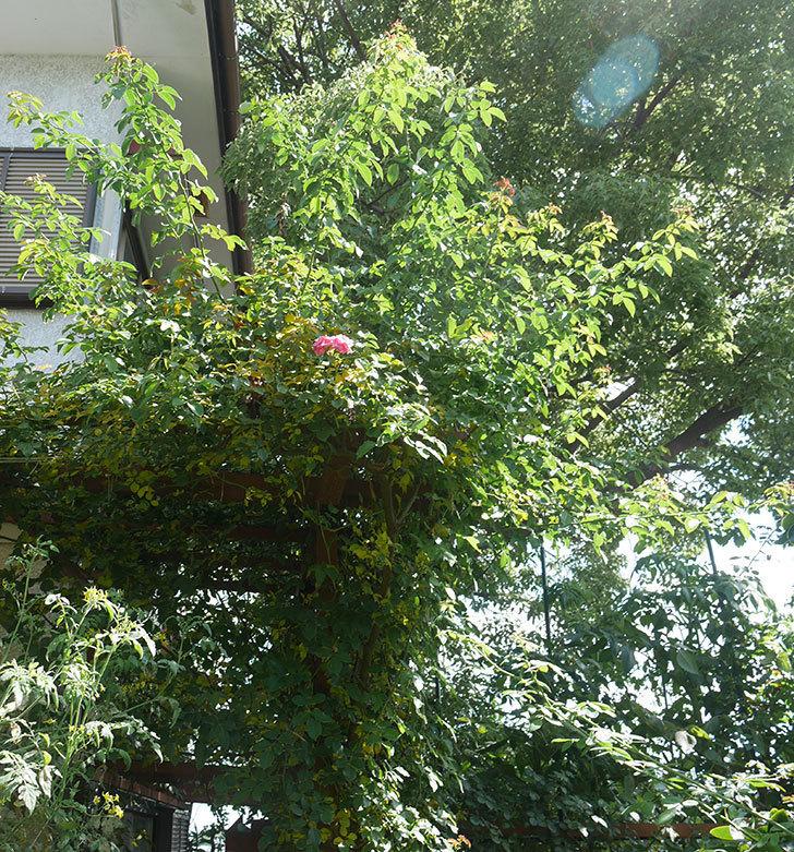 ツルうらら(ツルバラ)の葉が大量に黄色くなった。2018年-8.jpg