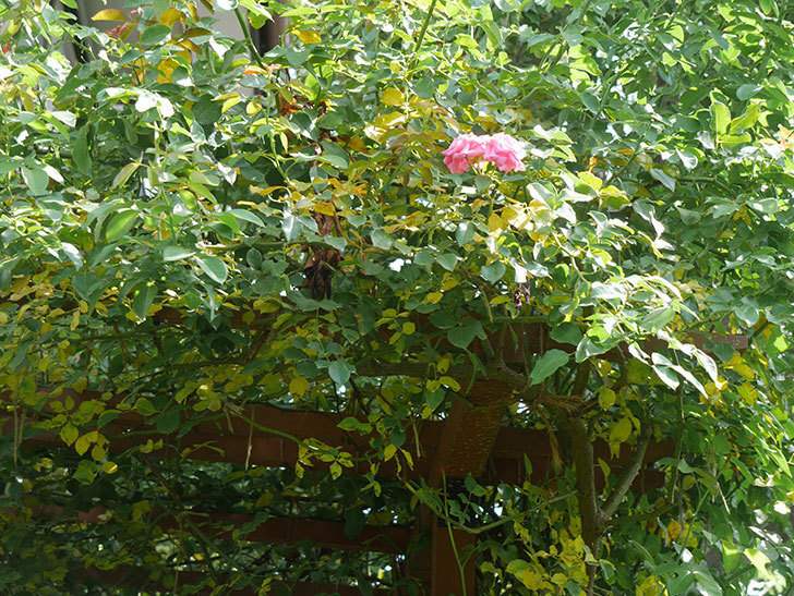 ツルうらら(ツルバラ)の葉が大量に黄色くなった。2018年-9.jpg