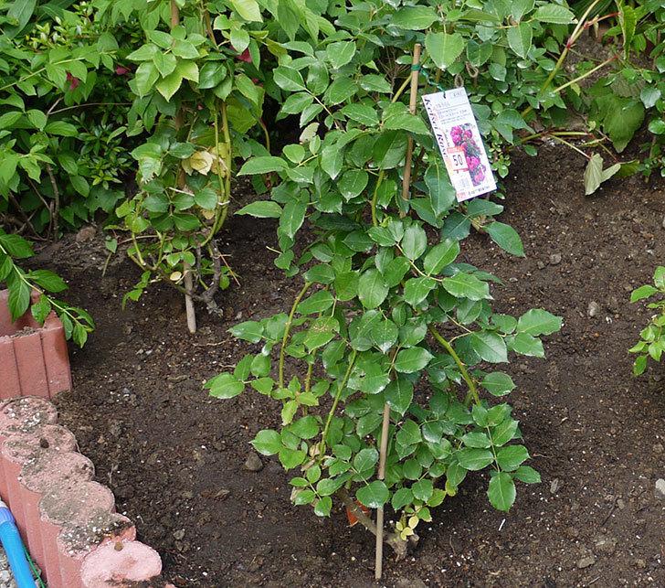ツルうらら(ツルバラ)の開花株を地植えした。2016年-8.jpg
