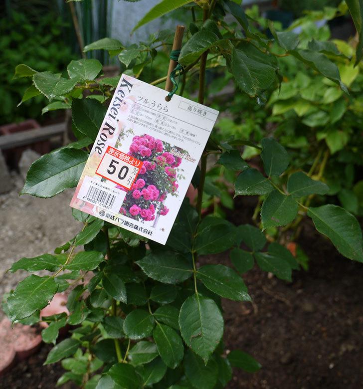 ツルうらら(ツルバラ)の開花株を地植えした。2016年-9.jpg