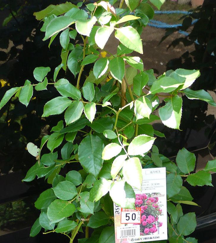 ツルうらら(ツルバラ)の開花株買って来た。2016年-1.jpg